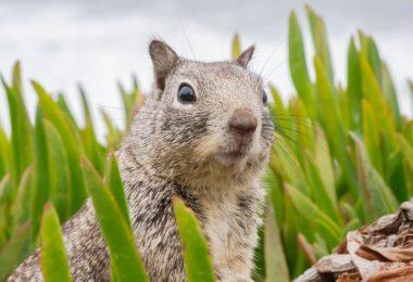 Sincaplar Gömdükleri Yiyecekleri Yerlerini Nasıl Hatırlıyorlar?