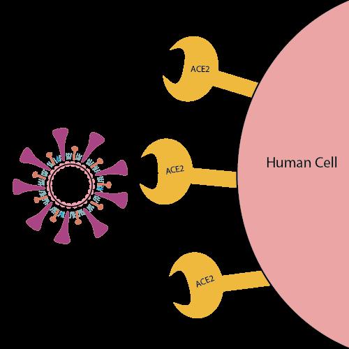 SARS virüsü hücrede ACE2 (anjiyotensin dönüştürücü enzim-2) adı verilen almaca, MERS virüsü ise DPP4 (dipeptidil peptidaz-4) adı verilen almaca bağlanır.