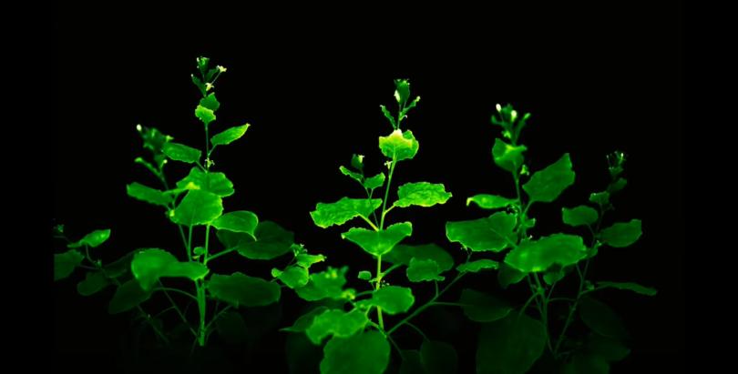 Parlayan Bitkiler
