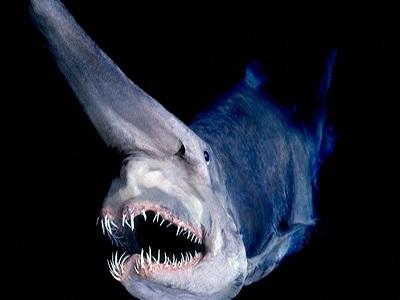 Mariana çukurun da içinde yaşayan Köpek balığı