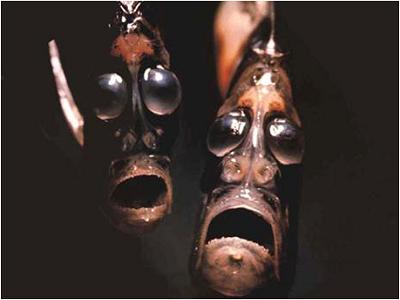 Mariana çukurun da içinde yaşayan balta balığı