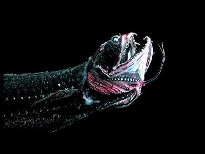 Mariana çukurun da içinde yaşayan dragon balığı